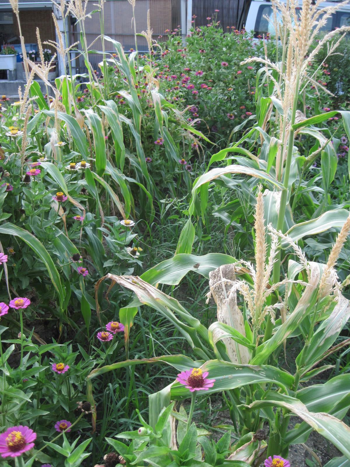 トウモロコシ第5弾・収穫の画像