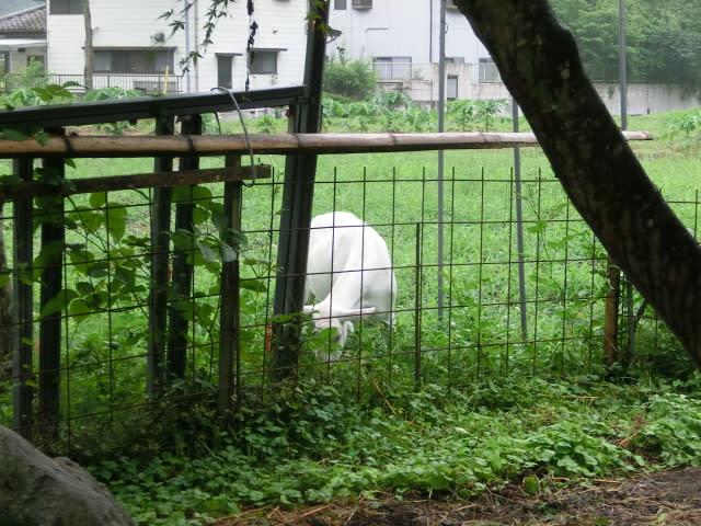 柵の外で草を食べる