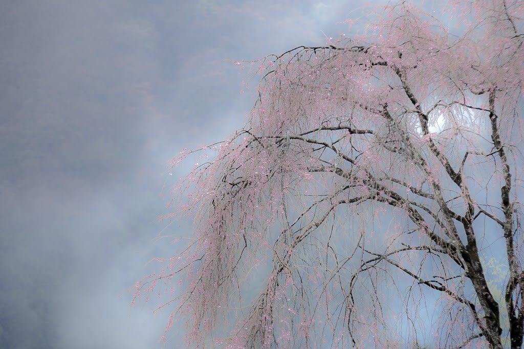 龍珠院の枝垂桜の写真