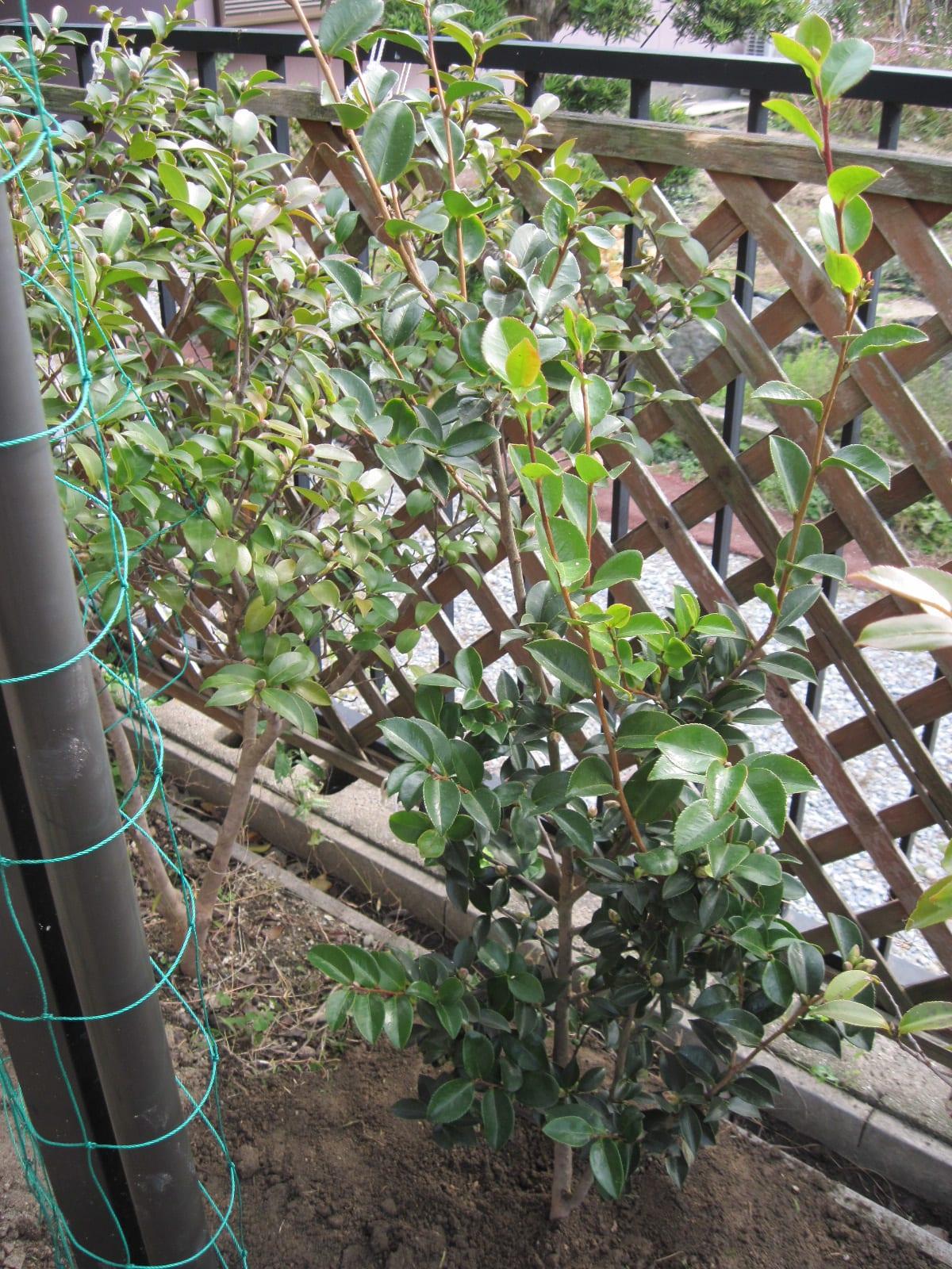 垣根の山茶花の画像