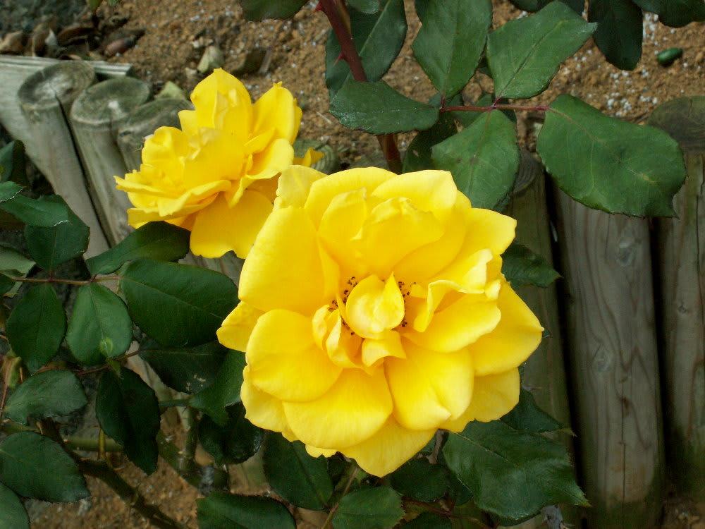 黄バラの好きだったヘンリーフォンダ 花の公園 俳句 ing