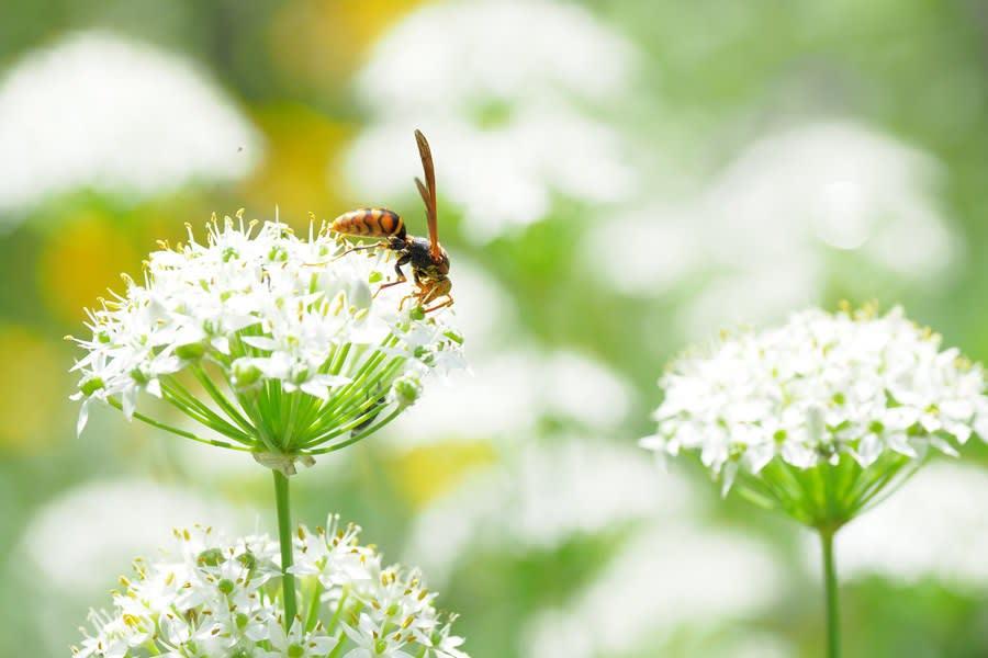 アシナガバチとニラの花