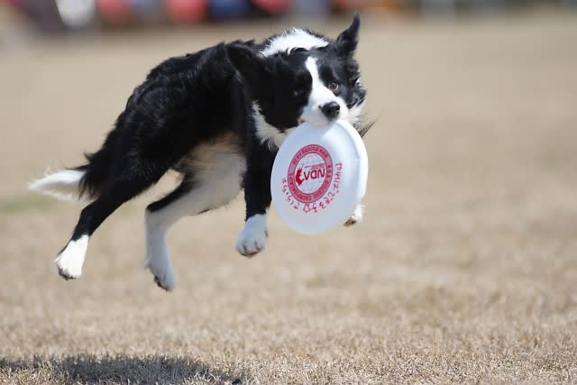 Image result for 犬 border collie ジャンプする