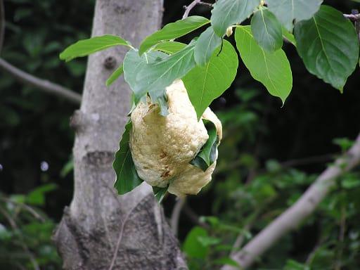 モリアオガエル 卵