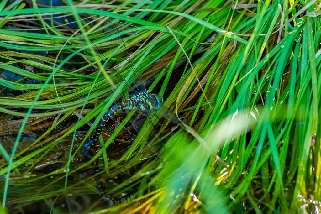 ルリボシヤンマ(青眼型メス)の写真