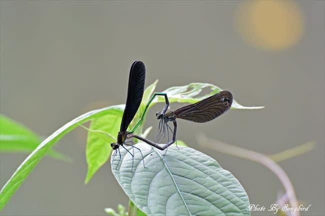 ハグロトンボ(羽黒蜻蛉)とムラ...