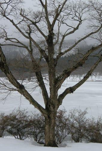 池の畔の立木
