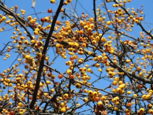 高ボッチ高原・鉢伏山で最近見る事の出来る実・種 キミズミ(黄実酢実)
