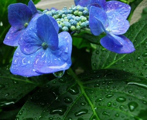 「紫陽花 と雨」の画像検索結果