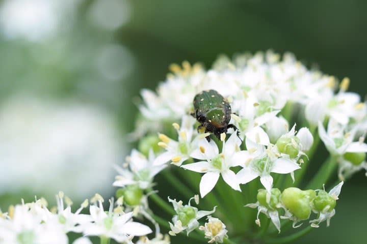 ハナムグリとニラの花