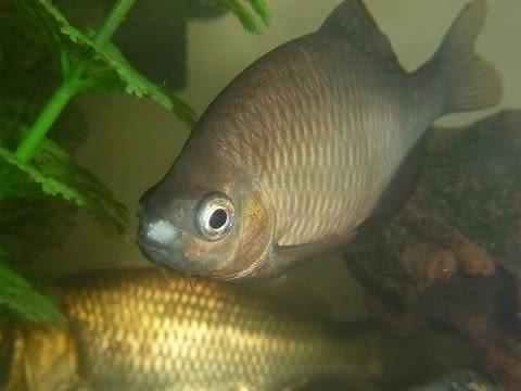 我が家の淡水魚 アブラボテの追...