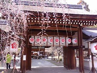 京都、魁桜が咲き始めています