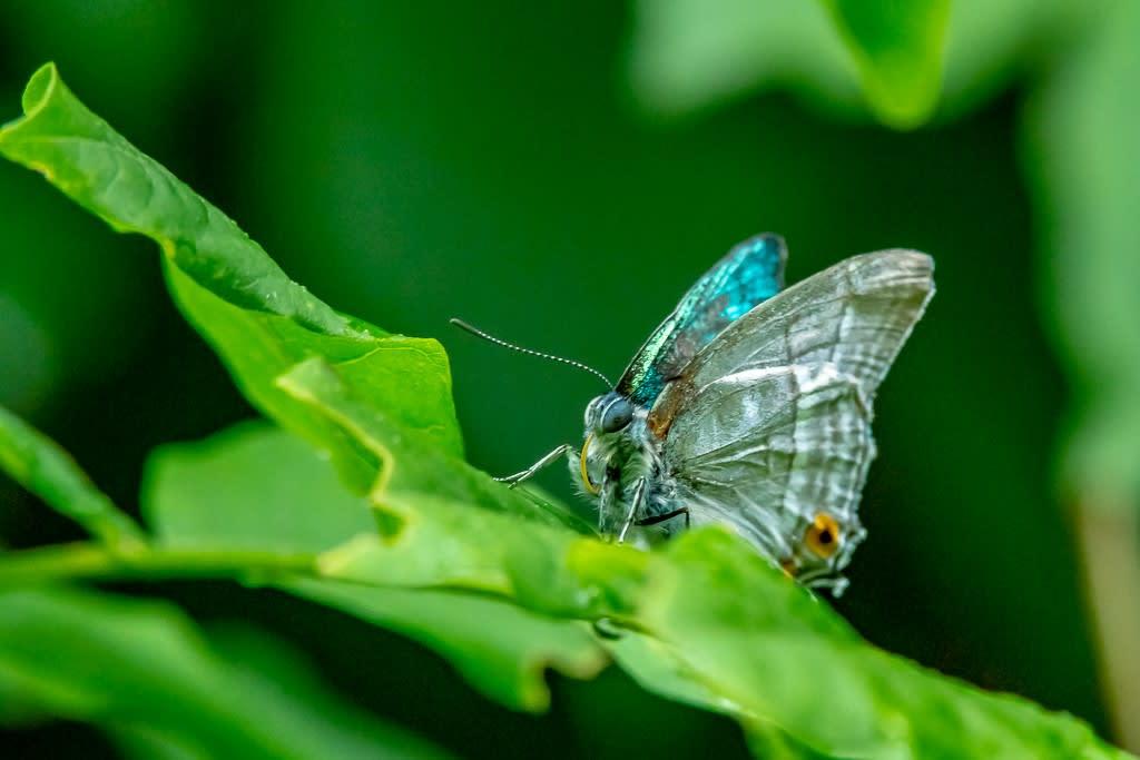 ヒロオビミドリシジミの写真