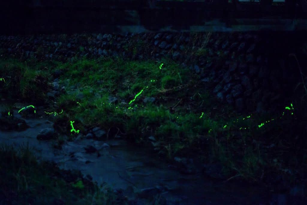 発光しながら上陸するゲンジボタルの幼虫の写真