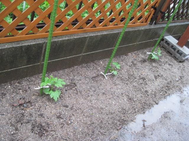 我が家の緑のカーテン・2010/05/30の画像