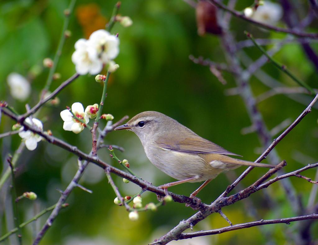 「梅と鶯」の画像検索結果