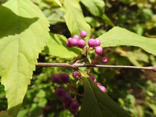 高ボッチ高原・鉢伏山で最近見る事の出来る実・種 ムラサキシキブ(紫式部)