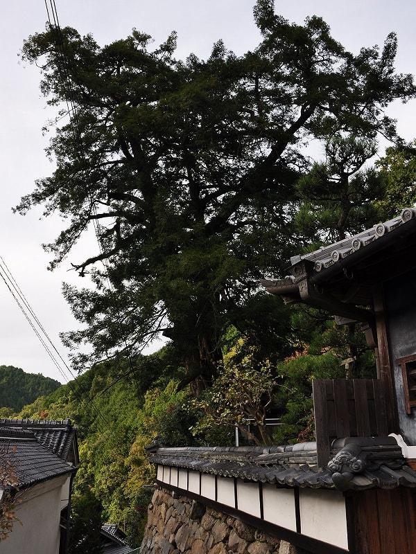 石垣内のカヤの巨樹
