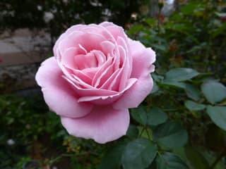 今日のバラ;フレデリック・ミス...