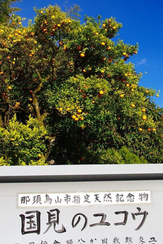 那須烏山市 国見のみかん 29.11.19 - 栃木の木々