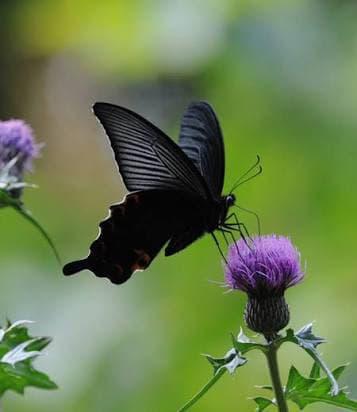 意味 蝶々