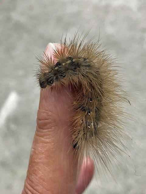 茶色い大きな毛虫 グッドぐんま 2