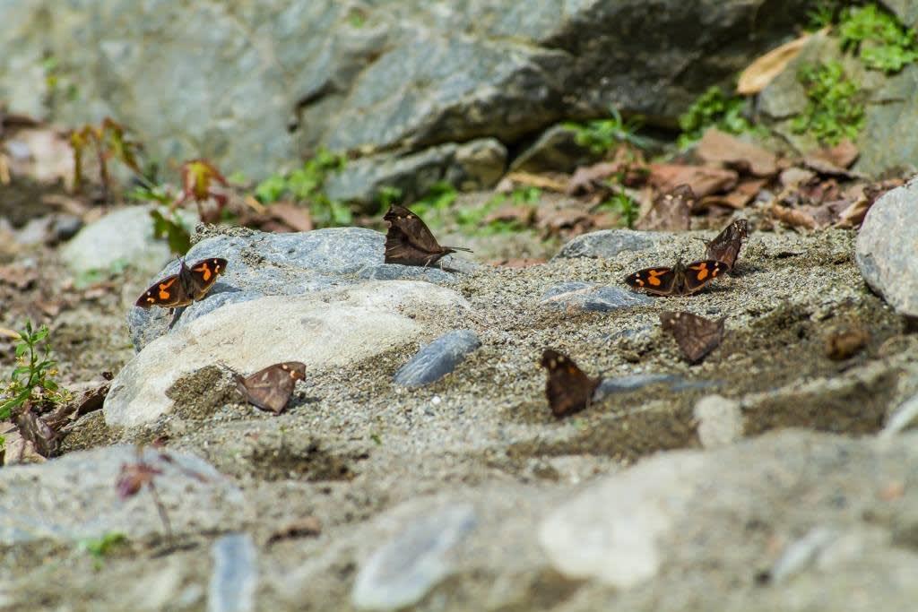 テングチョウ集団吸水の写真