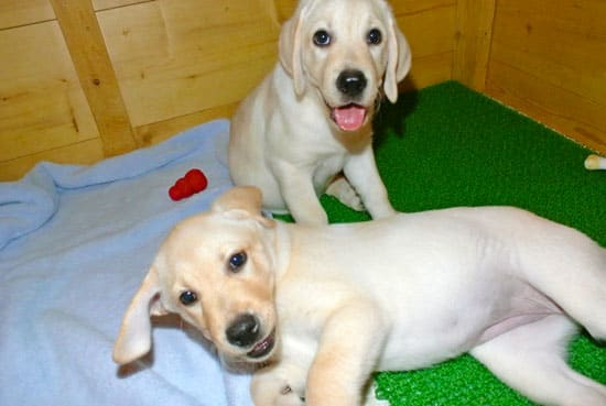 Resultado de imagen para Labradors  犬  床を転がす
