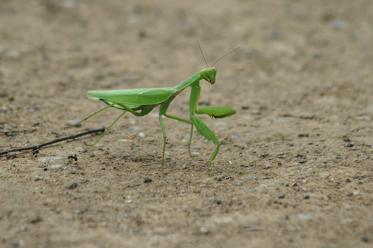 腹広蟷螂 - 花鳥虫風月