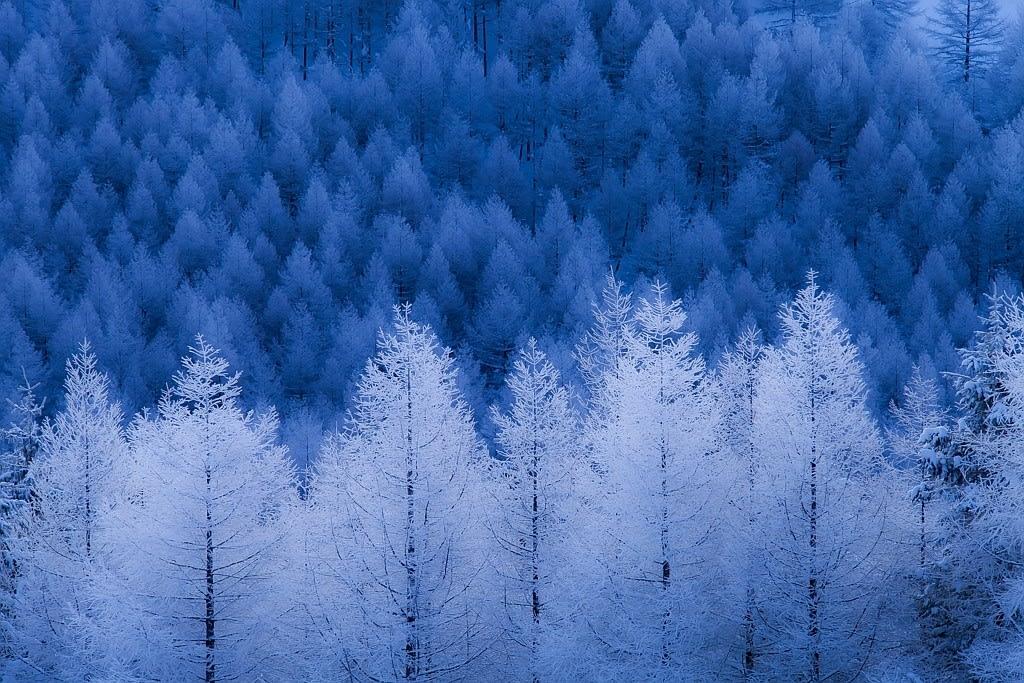 カラマツ林(霧氷)の写真
