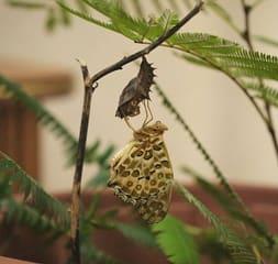 ツマグロヒョウモンが北進したワケ - 鈴木海花の「虫目で歩けば」