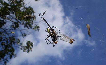 クモに捉まるチョウ、トンボ - ...