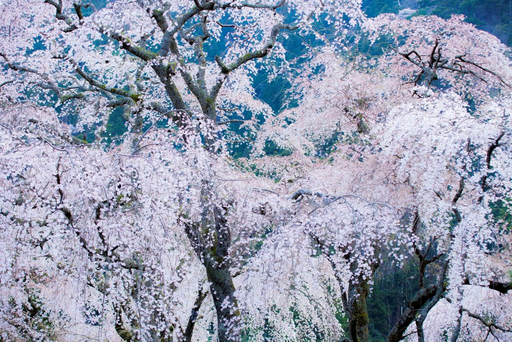 身延山西谷の桜写真