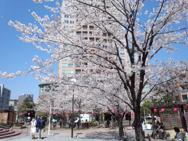 御成橋公園の桜も満開