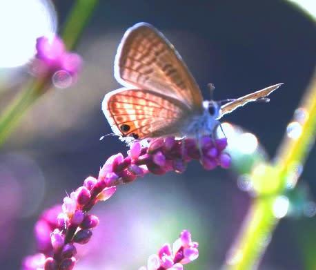 2013 09 29 シジミ蝶