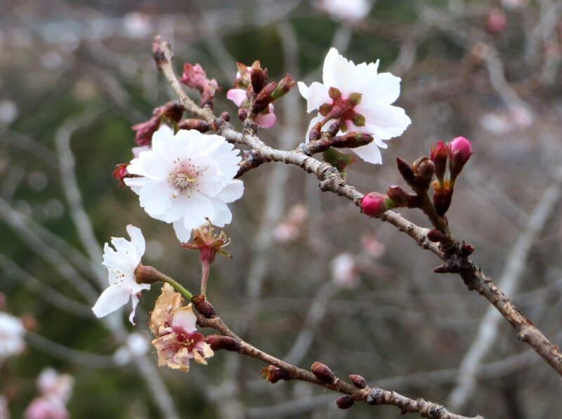 桜山公園 花見情報2019 | 最新の桜開花予想、花見 …