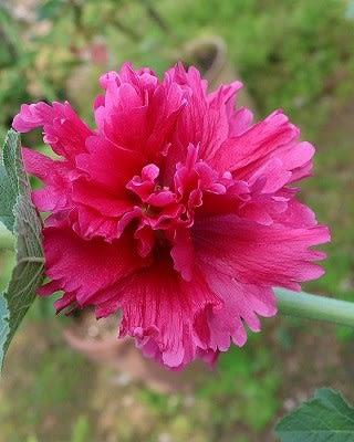 こちらも初咲き「こけっこうの花...