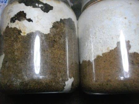 ビン オオクワガタ 菌糸 菌糸ビン→マットボトルへの切替え飼育の考察と大型化の理由 クワガタと飼育用品の販売/クワガタ工房