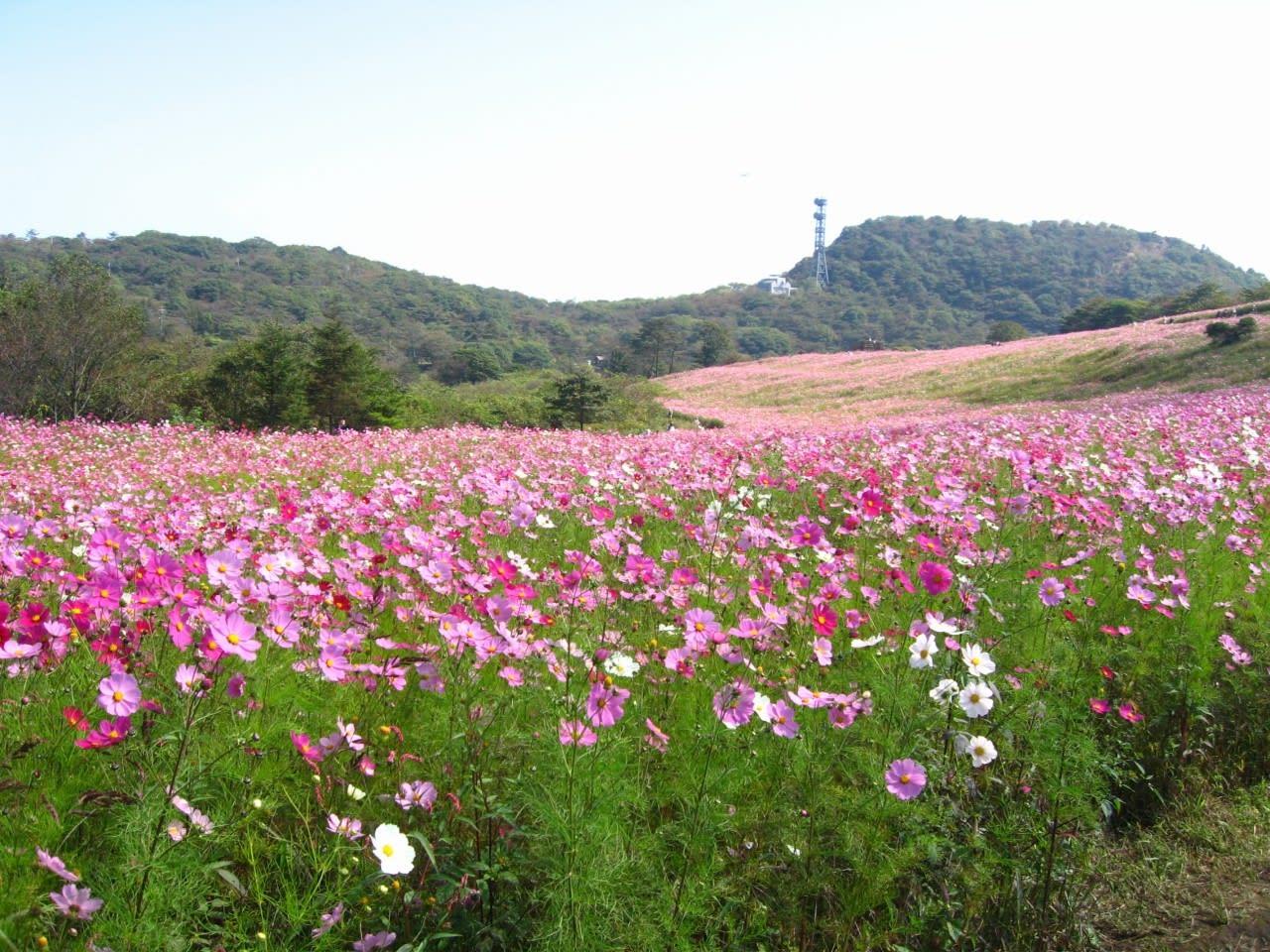 信州の秋 ・・ コスモス高原(2) - いみしん新聞・常陸の国