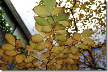 シャラの黄葉