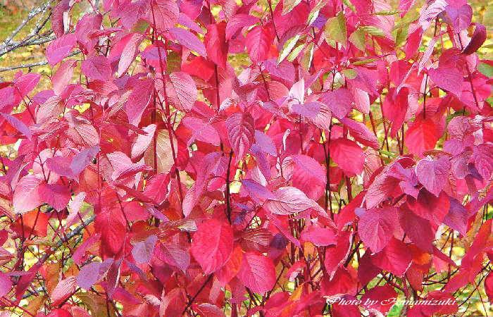 サンゴミズキの紅葉 - 四季の彩...