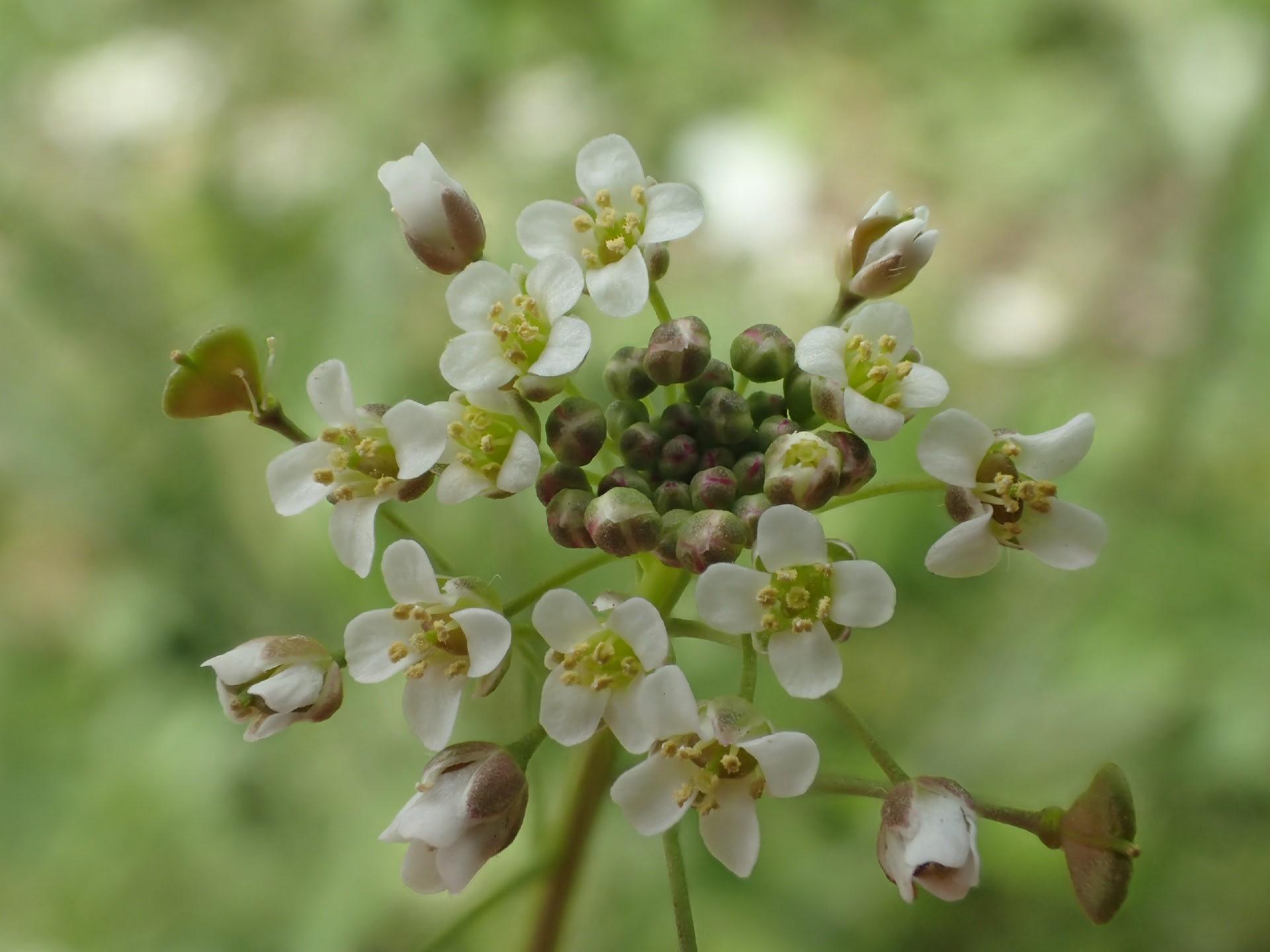 咲き ぺんぺん草 まし の 花 たよ が
