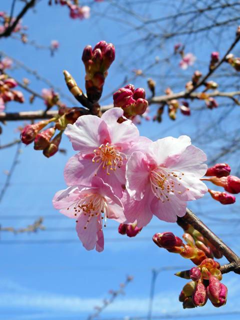 カワヅザクラ - 東京都武蔵野市 - 花をみるだけ