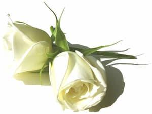 Rose_white_01