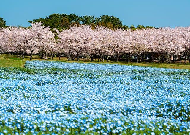 2018 咲き始めたネモフィラと散りゆく桜 《福岡市東区海の中道海浜公園》 , おうどうもん(Oudoumon People of Hakata)