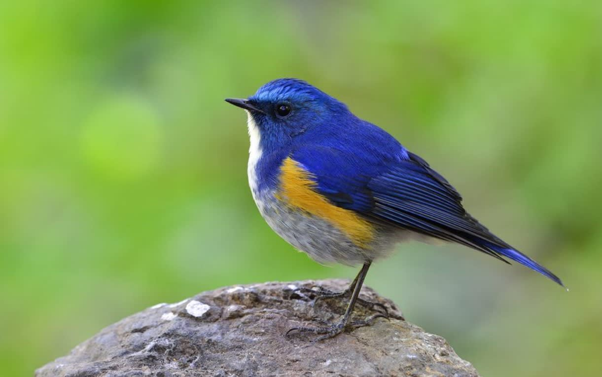 幸せを呼ぶ青い鳥と言われていま...