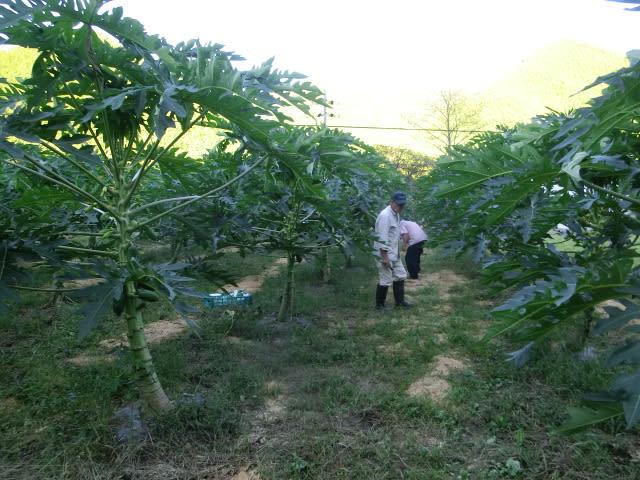 青パパイア収穫中