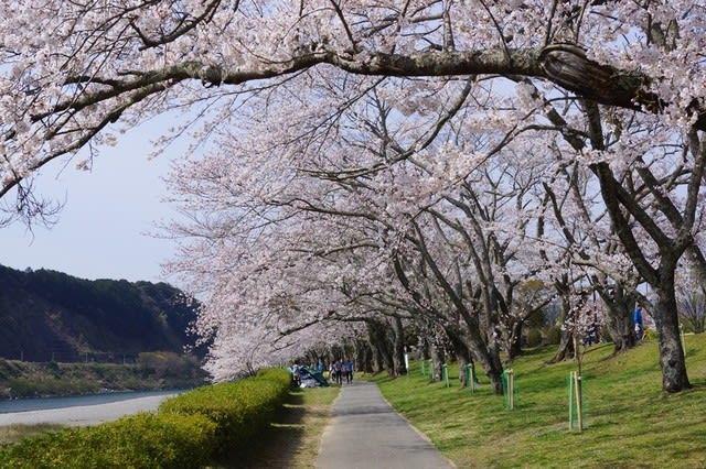 度会町「宮リバー度会パークの桜」見てきました〜(^^)