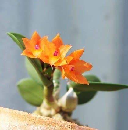 dfb87321bf828 最近のセルヌア、花がどんどん大きくなってミニカト化している中、 この小ささは、まさにミニチュアオーキッド。 愛らしい中でも、特に愛らしく思います(  )