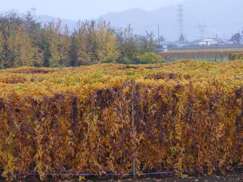 長芋の紅葉